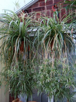 The Spider Plant, or Chlorophytum can be put into hanging