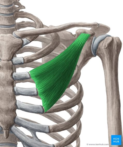 Clavipectoral fascia: Anatomy, components and function