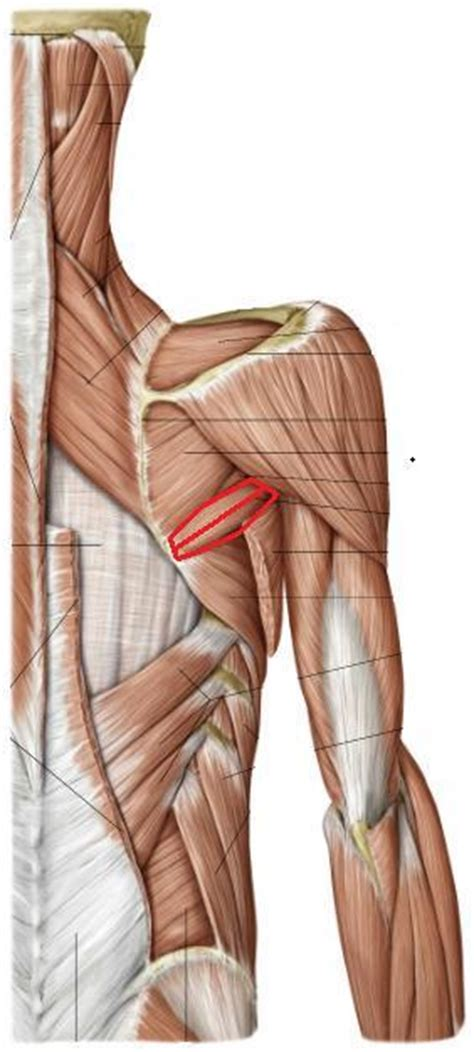 Muscles of Anterior Thorax and Shoulder - Mechanical