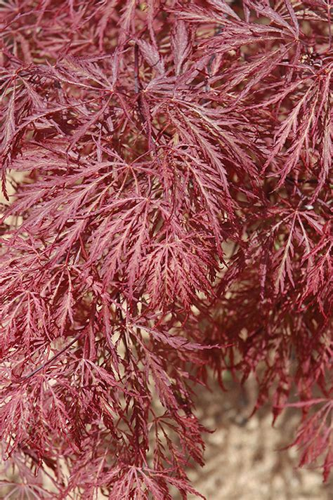 Ever Red Lace-Leaf Japanese Maple (Acer palmatum 'Ever Red
