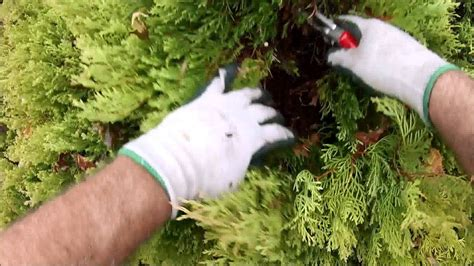 HOW TO: Prune Rheingold Arborvitae with a natural look