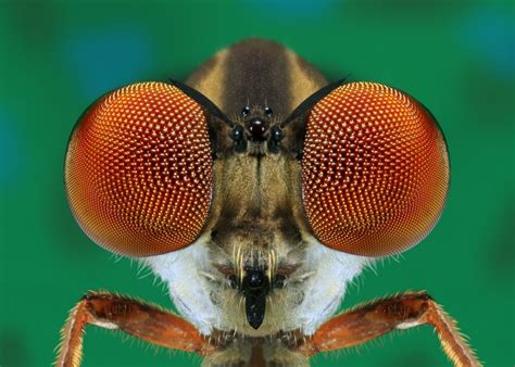 WINNER - Robber Fly Eyes Close- up - Corel Discovery Center