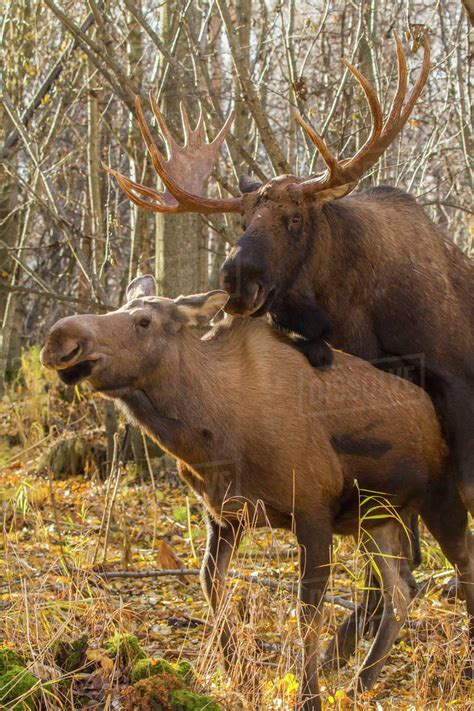 A Bull Moose And Cow Mating In West Anchorage In Autumn