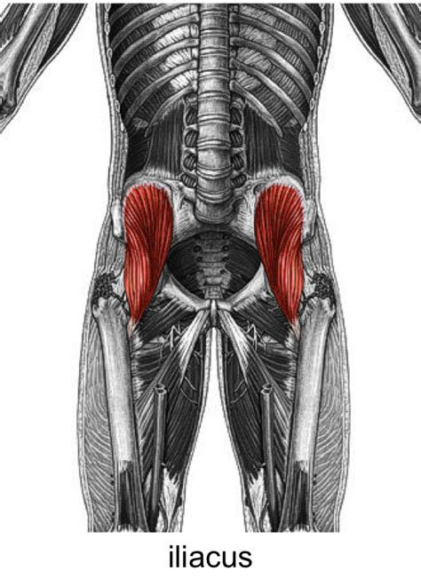 anatomy muscles at University of Queensland - StudyBlue