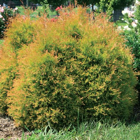 Fire Chief Thuja   Spring Meadow - wholesale liners
